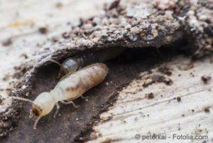 termite1607