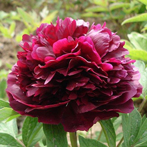 idealhere 10 graines de pivoine paeonia suffruticosa semences florales rouge notre si cle. Black Bedroom Furniture Sets. Home Design Ideas